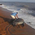 Giant Leatherback Turtle_Romeo Defreitas (002)