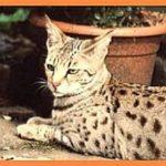 savannahcat.de