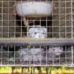 Corona: Virus verbreitet sich erneut über Pelzfarm